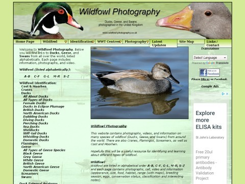 Wildfowl Photography - Ducks, Geese, and Swan species, Identification, Photos, and Information.